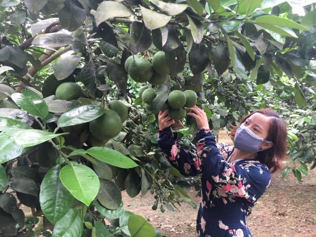 Năm nay, Bưởi Phúc Trạch có tỷ lệ đậu quả cao