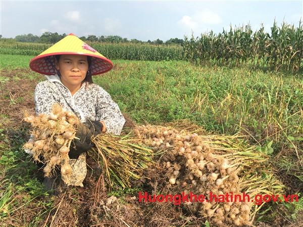Tỏi tía Lộc Yên được mùa toàn diện.