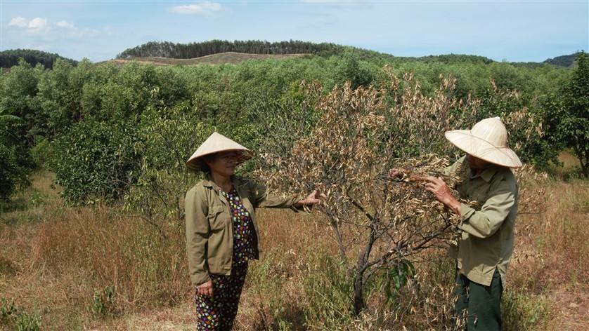 Hương Khê: Không có điện bơm tưới, nắng nóng kéo dài, nguy cơ xóa sổ 300ha cây ăn quả đặc sản