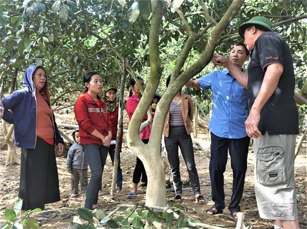 Hương Khê:Tập trung khôi phục diện tích, chăm sóc, phòng chống sâu bệnh cho cây bưởi sau mưa lũ.