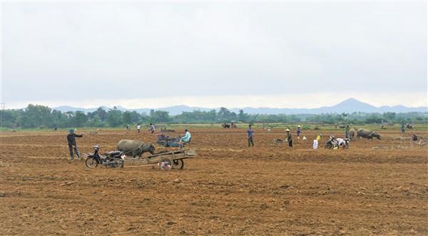 Hương Xuân, ngô vụ Đông tăng trên 200% kế hoạch nhờ có chủ trương hỗ trợ  giống của UBND tỉnh