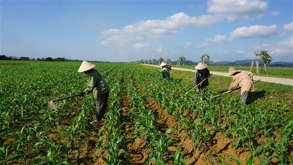 Bà con nông dân tập trung chăm sóc gần 2.220 ha ngô Đông.