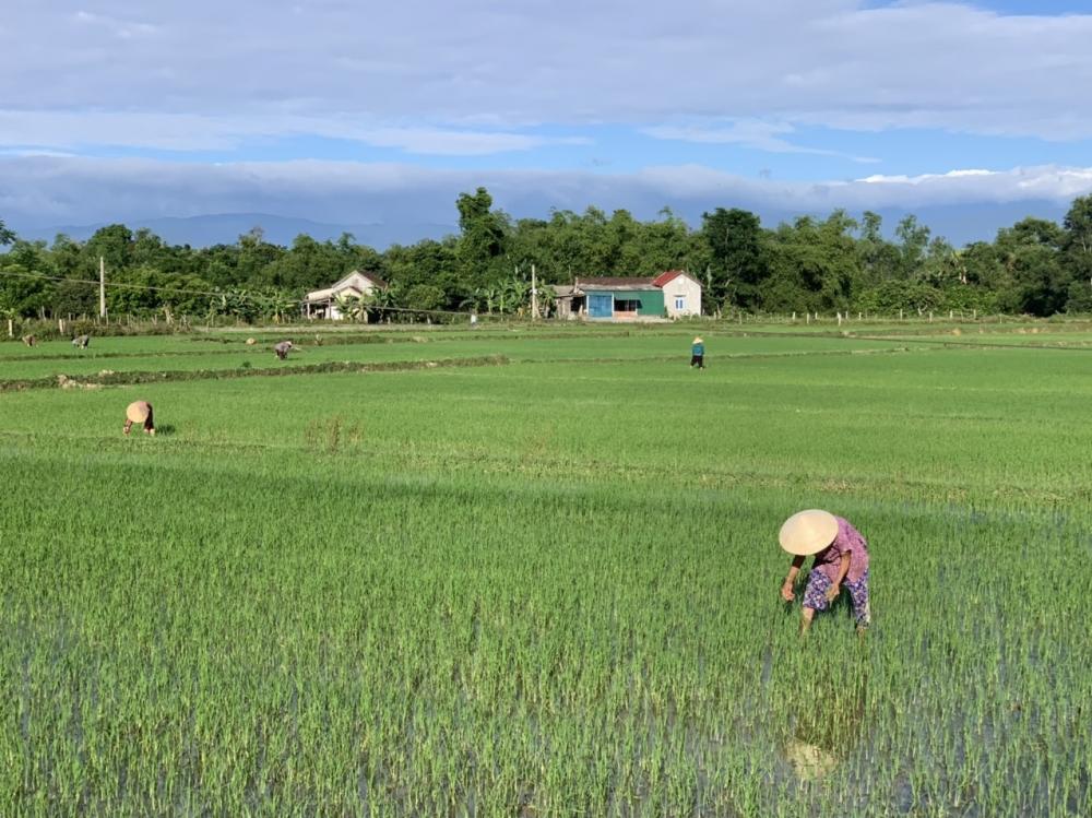 Nông dân Hương Khê khẩn trương xuống đồng gieo trỉa lại và chăm sóc cây trồng bị thiệt hại sau mưa lớn