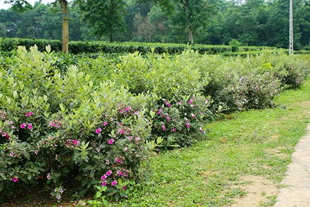 Tây Trà trồng cây Sim làm hàng rào xanh, tô điểm nét đẹp riêng trong bức tranh nông thôn mới