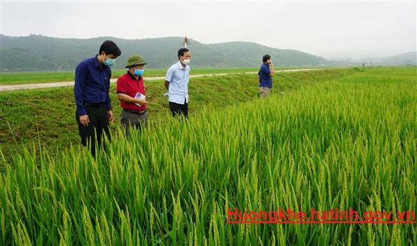 Hương Khê: 2,5 ha lúa nhiễm bệnh đạo ôn lá .