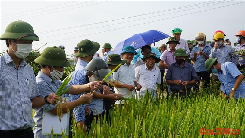 Hương Khê: Thử nghiệm 3 giống lúa mới trong vụ xuân cho năng suất cao.